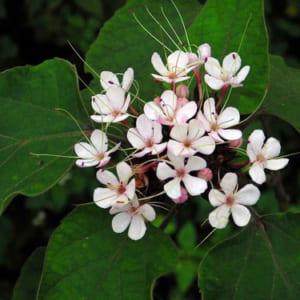 cây bạch đồng nữ